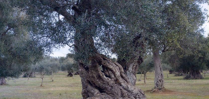 ulivi-secolari-s-sisinnio