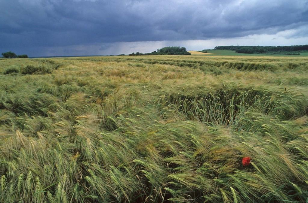 Recanati campo grano e temporale in arrivo