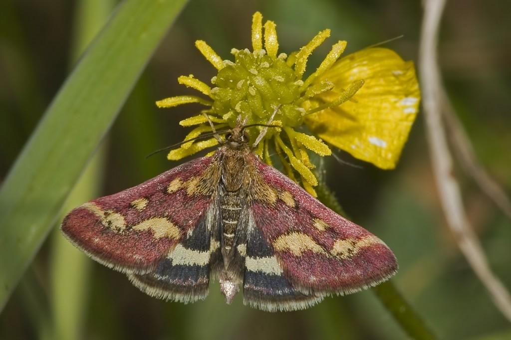 Uno splendido esemplare di Pyrausta Purpuralis