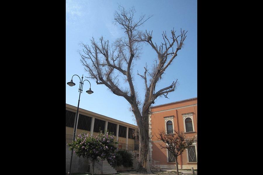 Diamo un futuro al grande eucalipto, patriarca arboreo che ha dominato il tempo nel Tavoliere pugliese