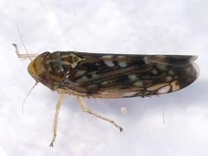 Un esemplare di Scaphoideus titanus