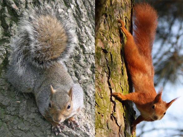 Lo scoiattolo grigio ha una strategia di immagazzinamento dei semi e di consumo dei funghi abbastanza diversa dallo scoiattolo rosso, per questo la sostituzione della specie autoctona con la specie americana potrebbe avere effetti negativi sulla composizione e sul funzionamento dei boschi.