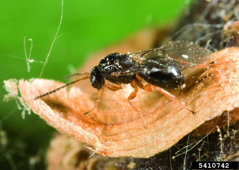 cinipide-galligeno-castagno-insetti-invasori