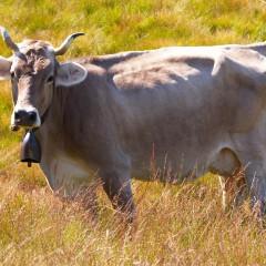 """Storia naturale della mucca, utile """"fabbrica"""" ambientale"""