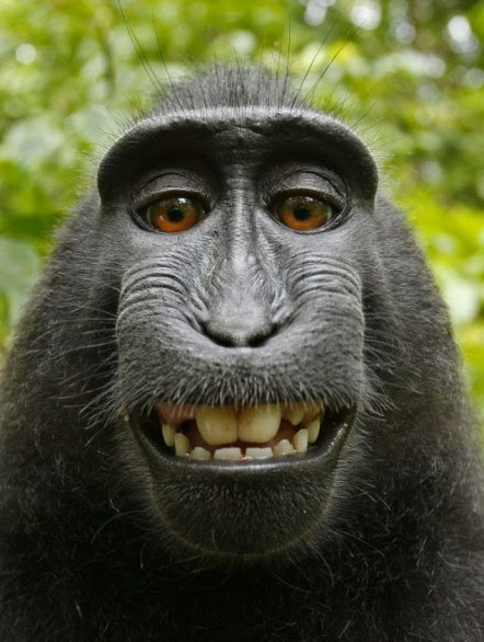 Il selfie del macaco: <br />niente copyright <br />per la creativa scimmia
