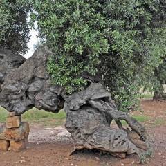 Festeggiamo la poetessa Grazia, Stella del Tavoliere pugliese, che con le parole disegna il tempo degli ulivi e degli uomini