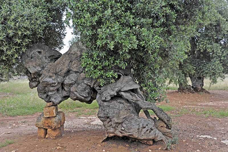 Festeggiamo la poetessa Grazia, Stella <br />del Tavoliere pugliese, che con le parole <br />disegna il tempo degli ulivi e degli uomini