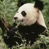 Dalla Cina buone notizie per il panda: la sua popolazione è in aumento GIORNATA DELLA TERRA