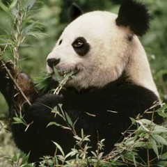 Dalla Cina buone notizie per il panda: la sua popolazione è in aumento