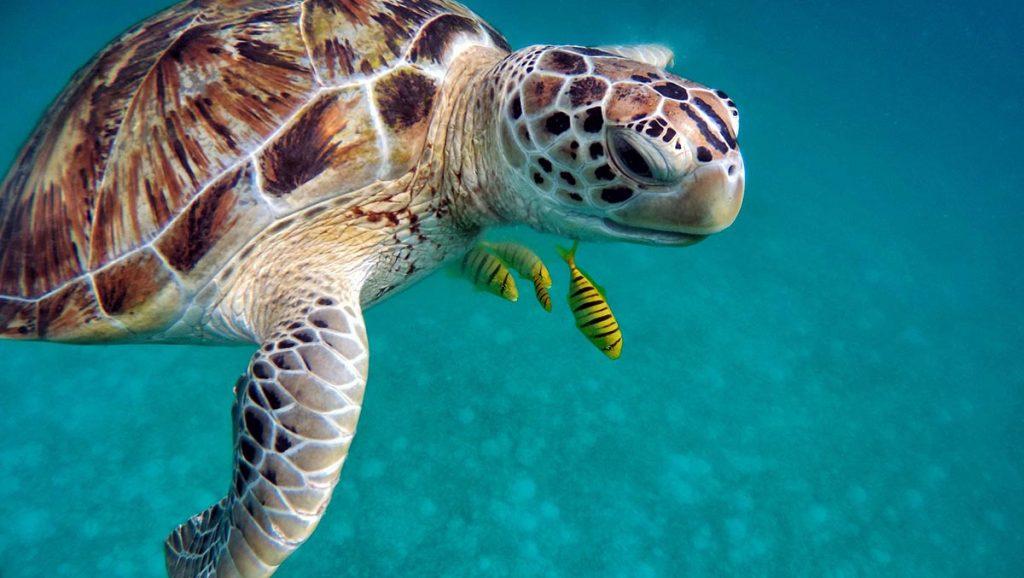 maldive-tartaruga-marina