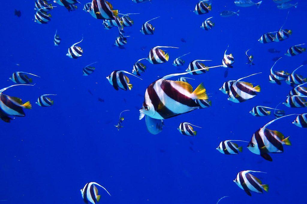 maldive-immersione-pesci-tropicali