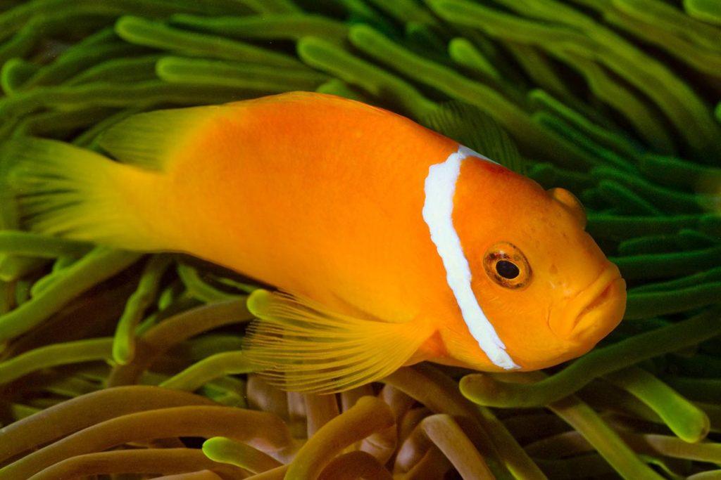 maldive-pesce-pagliaccio-nemo