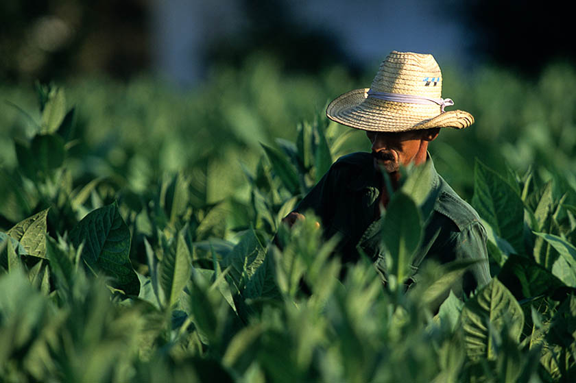 Cuba, Pinar Del Rio: piantagione di tabacco Hoyo de Monterrey a San Juan. (Foto di Enzo Signorelli).