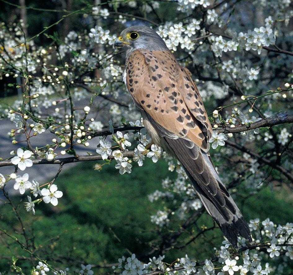 Gheppio (Falco tinnunculus) sui prugnoli in fiore