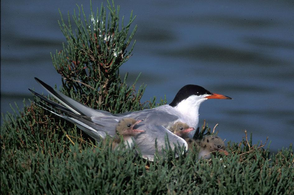Sterna comune o rondine di mare (Sterna hirundo) sul nido con i pulcini