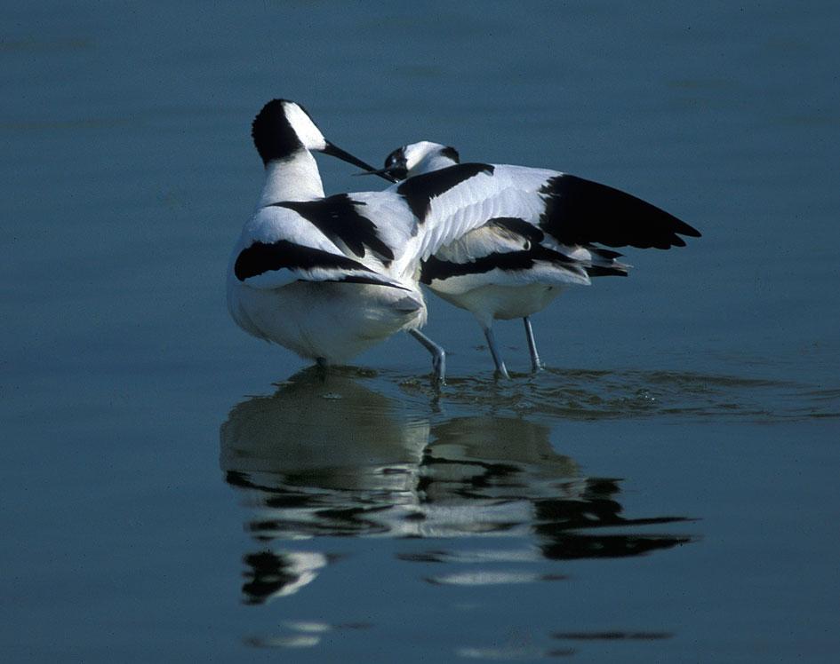 Avocette (Recurvirostra avosetta)