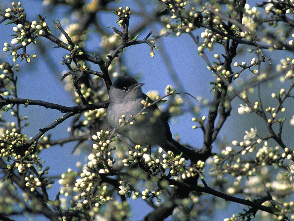 Capinera (Sylvia atricapilla) in sosta sui prugnoli in fiore