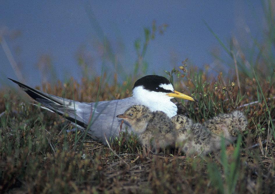 Fraticello (Sterna albifrons) sul nido con tre pulcini