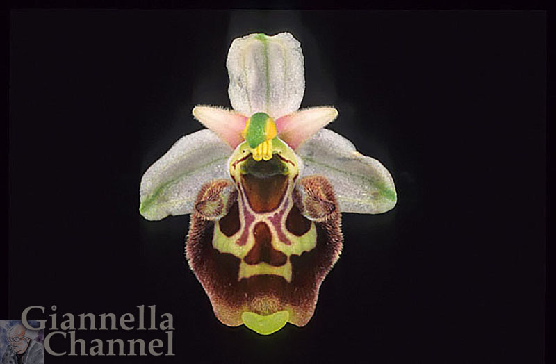 Orchidea Ophrys Parvimaculata