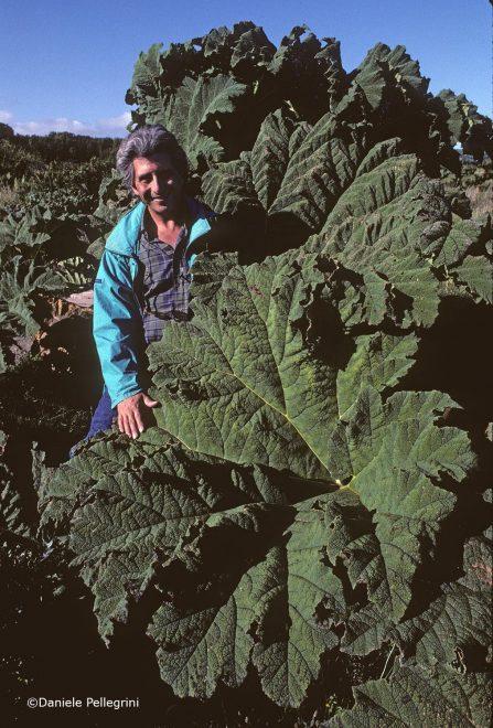 Chiloé, Cile. Parco Nazionale di Chiloé. Raul Morales. Pianta di Pangue