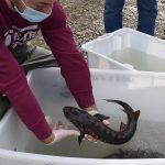 Storioni e anguille ripopolano il centro urbano di Cesena e il delta del Po